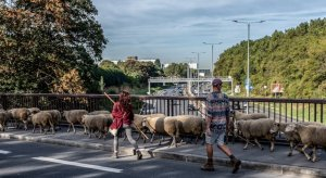 Transhumance du grand parisPassage à Alfortville